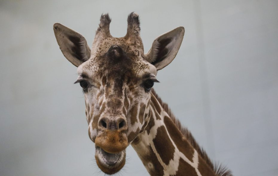 Agnes, a reticulated giraffe born at The Buffalo Zoo in 1994, was euthanized this week while struggling with an infection. (Derek Gee/Buffalo News)