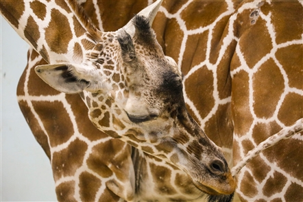 Agnes, a reticulated giraffe born at The Buffalo Zoo in 1994, has been a fixture in the giraffe house. The zoo announced her death Thursday. She was 24 years old and had recently entered end-of-life care as her health declined.