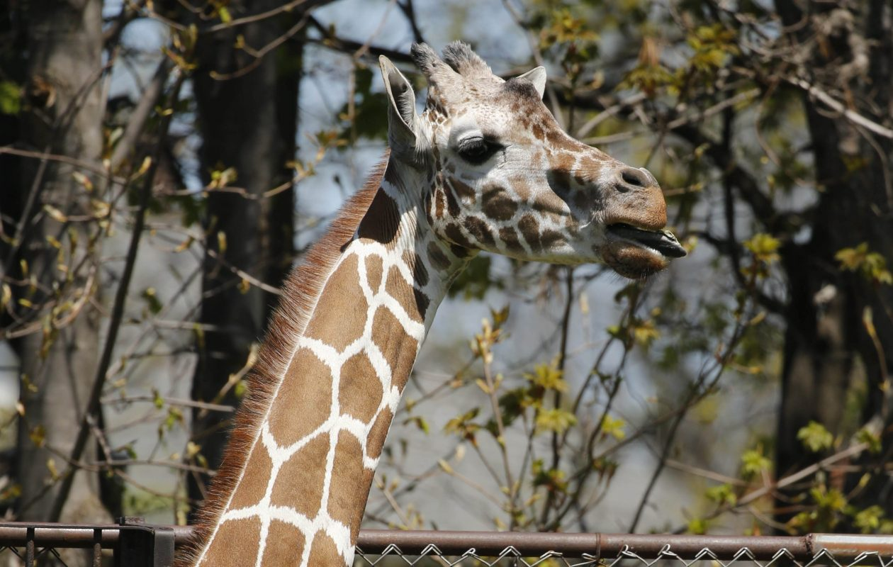 Buffalo Zoo says farewell to Agnes, its 24-year-old giraffe