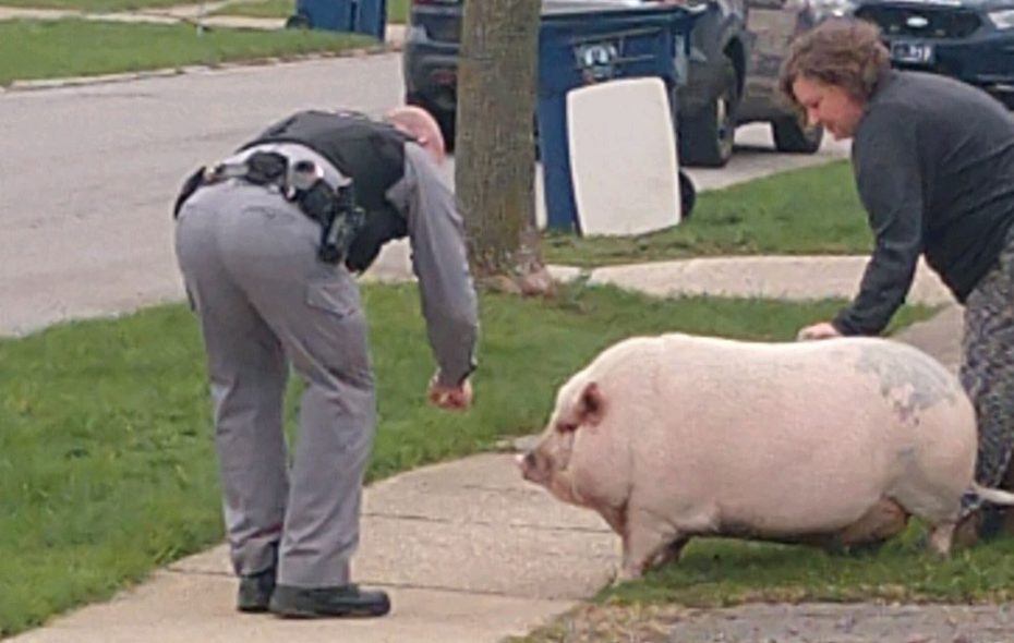An Amherst police officer attempts to interrogate Pork Chop about his escape and romp through Eggertsville in April. (Photo courtesy of Justin Cole)