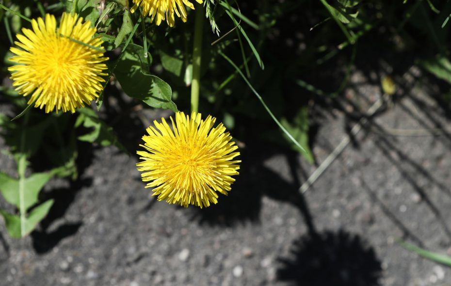 Included in Sally Cunningham's guidelines for May:   Pull or dig perennial weeds such as dandelions, above, and mugworts. (Many so-called weeds have value for ourselves or other creatures, but you may not want them everywhere, she writes.) (Sharon Cantillon/News file photo)