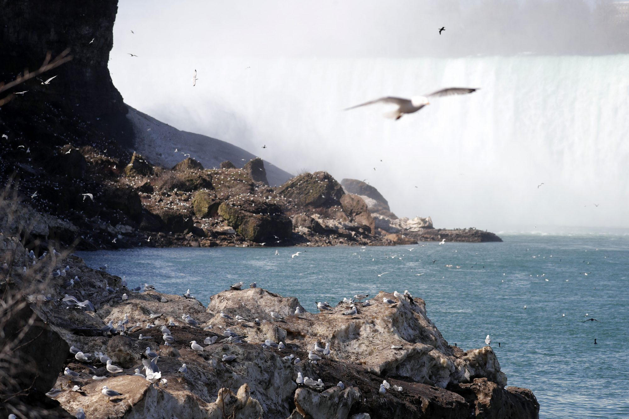 Gulls on parade: Why the skies over Niagara Falls are filled