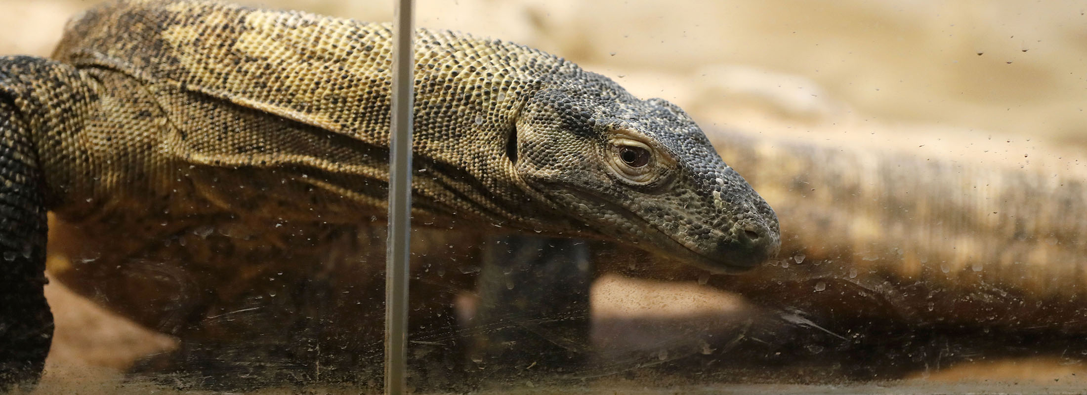 The Buffalo Zoo's new Komodo dragon walks through its exhibit, which is set to open to the public Friday. (Mark Mulville/Buffalo News)