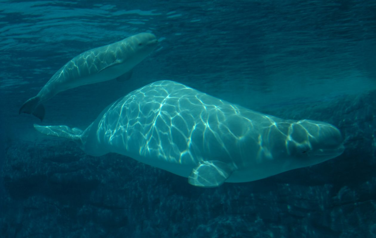 A baby beluga whale swims above its mother in the giant Arctic Cove tank at Marineland in Niagara Falls, Ont. in 2005. It's not clear which whales will be relocated. (News file photo)