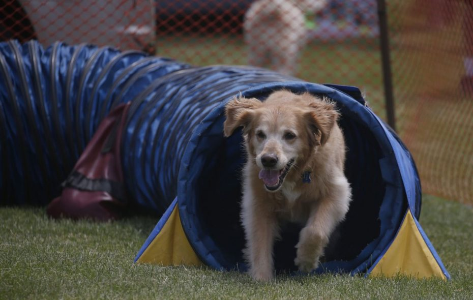 A dog enjoying itself at a previous Dog Days of Kenmore event. The Town of Tonawanda now will let dog owners register three pooches, though Kenmore is keeping its two-dog limit. (Robert Kirkham/News file photo)