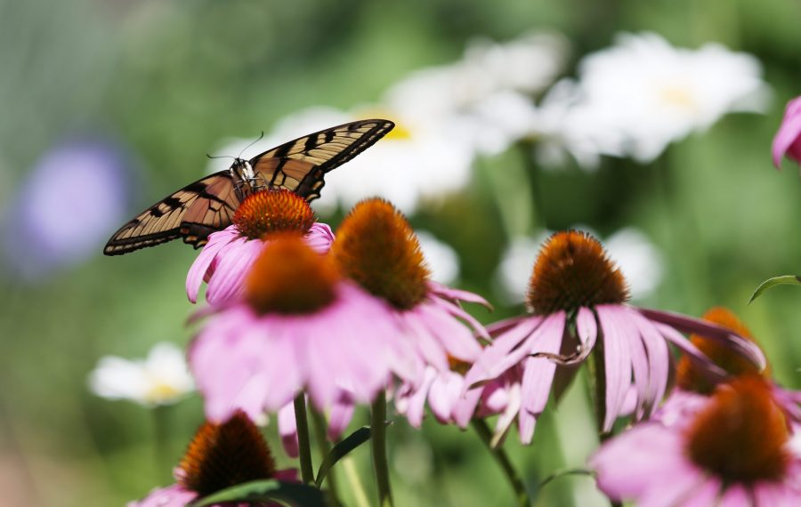 A butterfly lands on a purple coneflower in an Orchard Park garden. Coneflowers (Echinacea) bloom in late summer and attract bees, birds and butterflies. (Sharon Cantillon/News file photo)