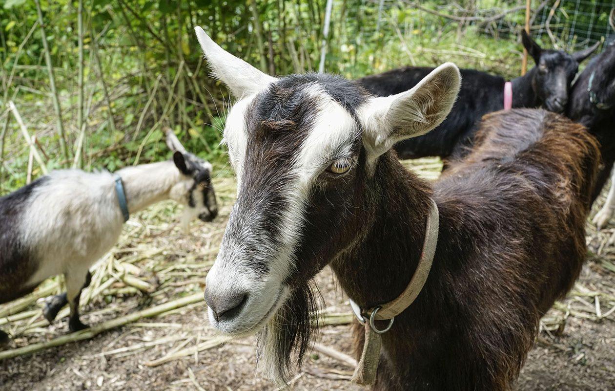 How 'goatscaping' came to Como Lake Park