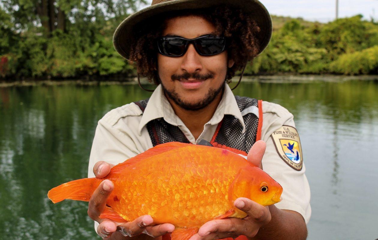 Giant goldfish of Black Rock: A flush followed by global fame