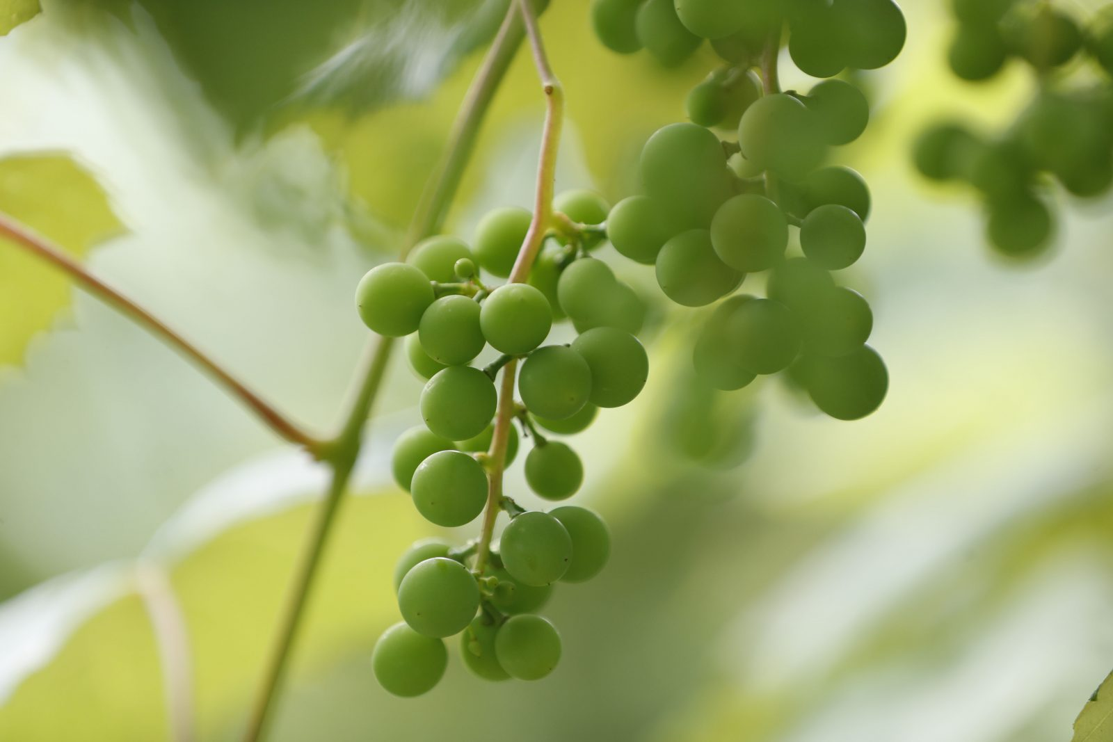 Could Lake Erie's grape belt be the next Napa Valley? – The