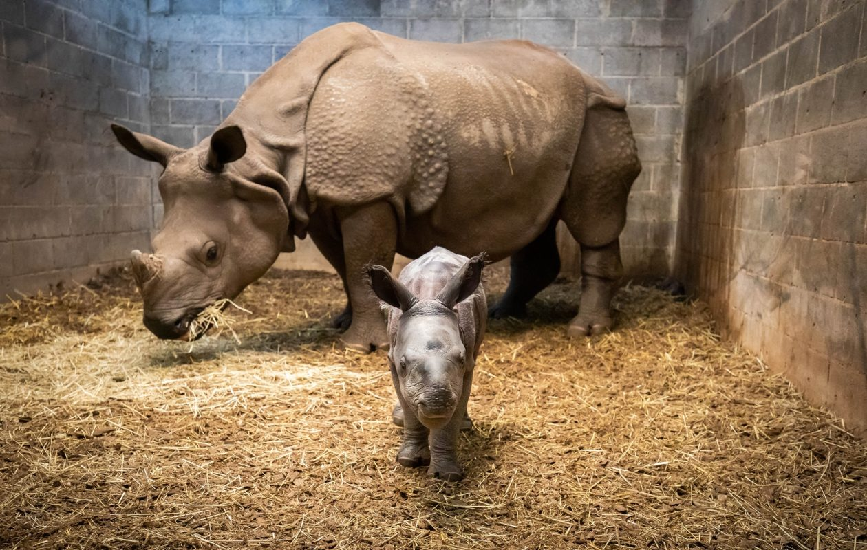 Baby Mohan and mom Tashi at the Buffalo Zoo. (Contributed photo)