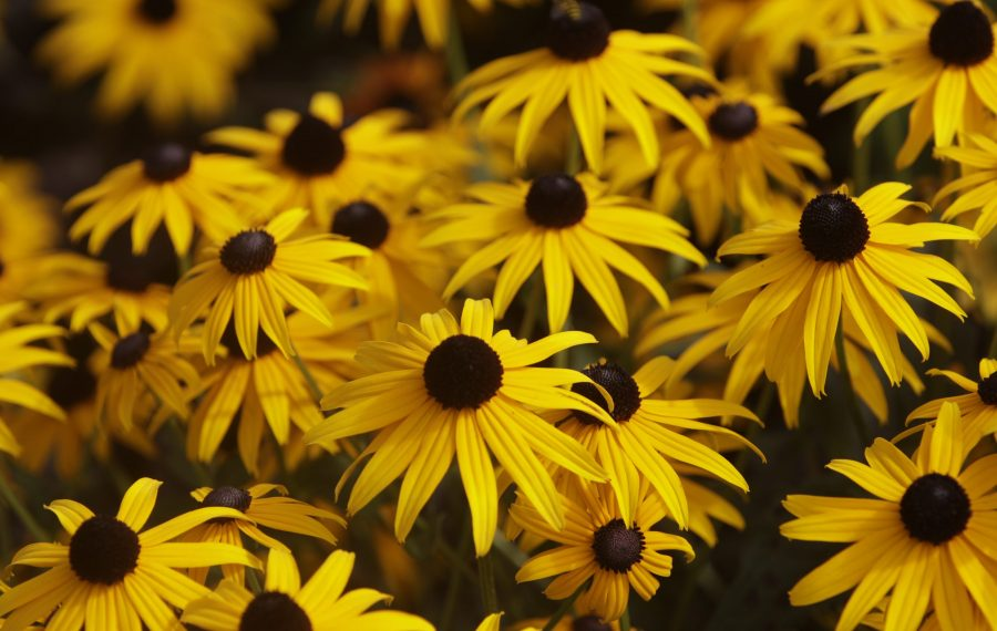 In August we see a show of bright yellow, orange, and pink perennials: Black-eyed Susans and other Rudbeckias, and many more. Enjoy them! (John Hickey/News file photo)