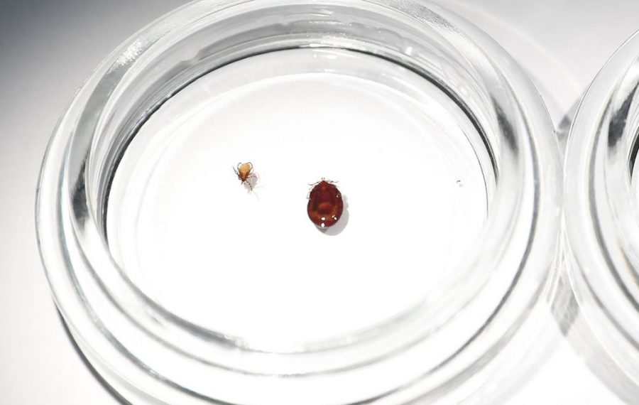 Deer ticks shown at the Erie County Department of Health office in Buffalo in 2017. (Mark Mulville/News file photo)