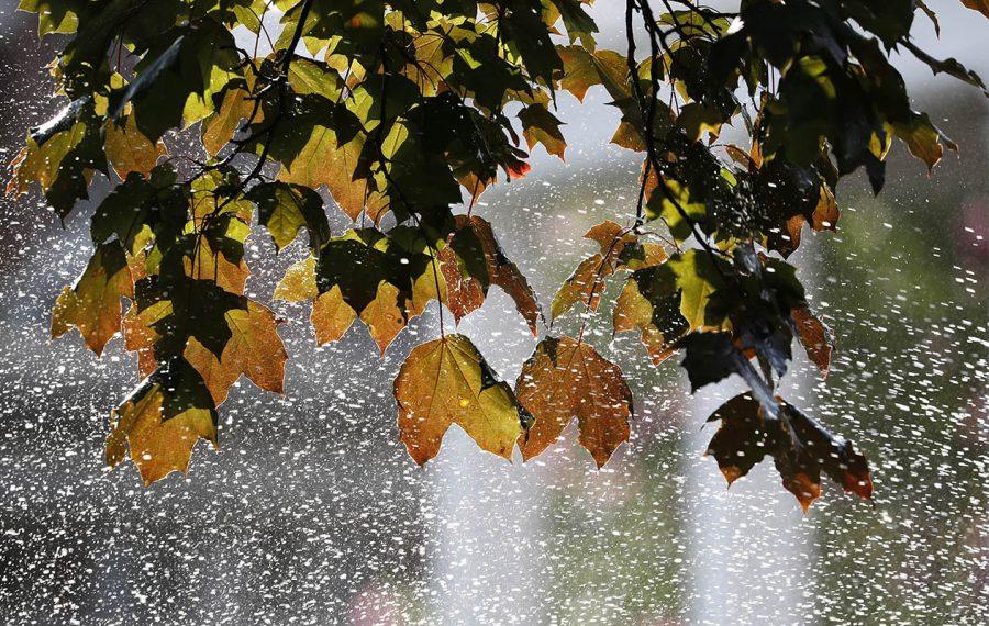 Maple leaves sprayed by a sprinkler in North Buffalo on Aug. 7. (Sharon Cantillon/Buffalo News)