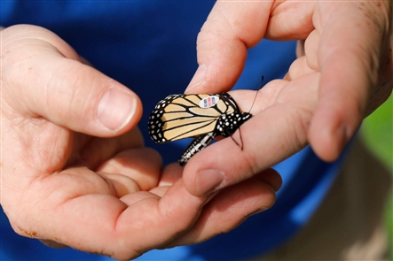 UB students help track the migration of monarch butterflies from Canada to Mexico by catching, tagging and releasing the butterflies as part of a national study called