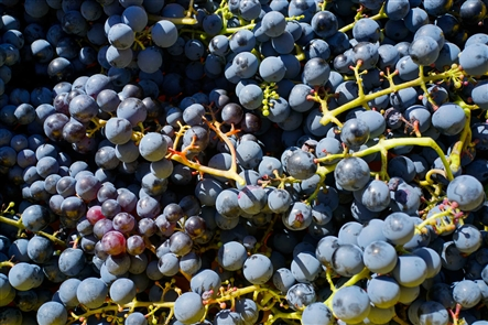 The annual grape harvest is beginning in the Lake Erie Wine Region, where there are 20,000 acres of vineyards. Most grapes are the concord variety, which are used primarily for juice, however the Lake Erie Wine Trail now boasts 17 vineyards.