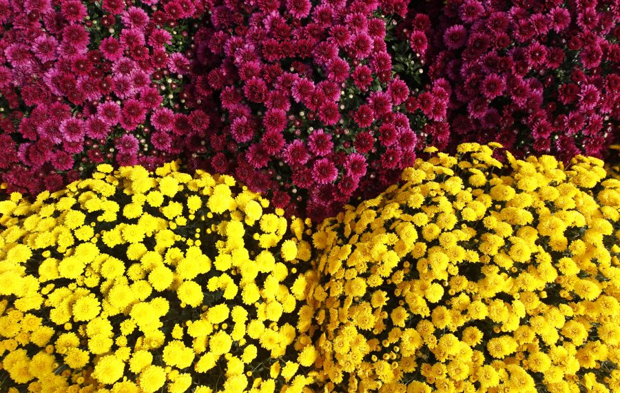 Mums, mums and more mums. Some ideas for when you bring them home to decorate for fall. (Sharon Cantillon/News file photo)