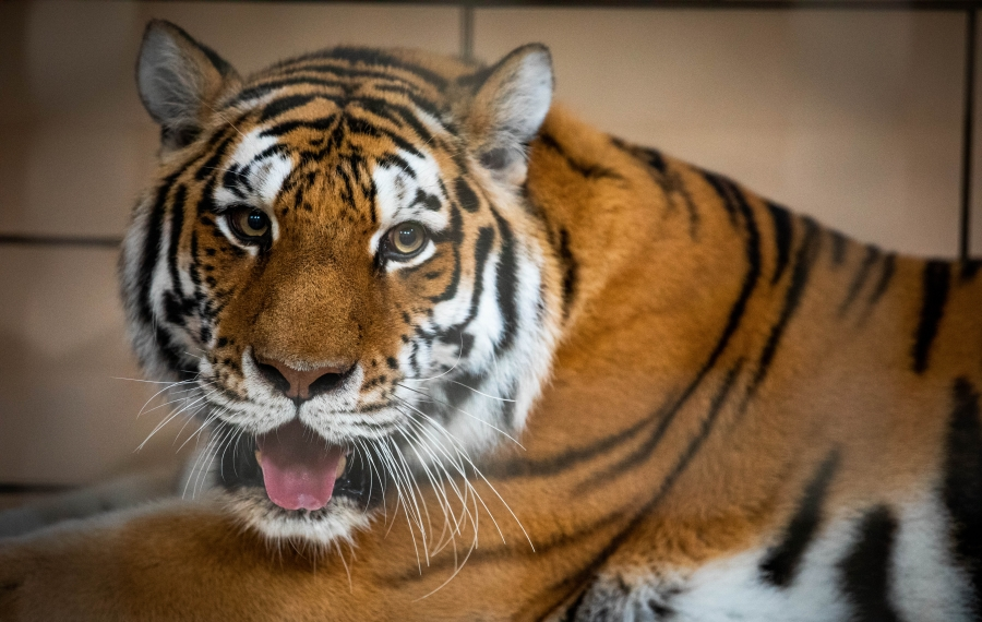 New tiger on the prowl at the Buffalo Zoo