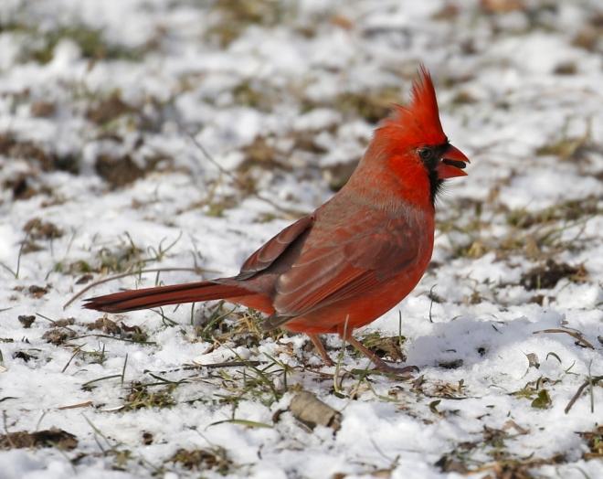 owl-outdoors-nature-wildlife-Reinstein-Woods-hiking-KIRKHAM-cardinal-2020-bird