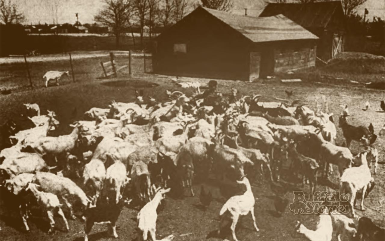 Before the Great Blue Whale, Popcorn Charlie's Tonawanda goat farm