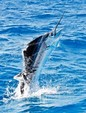 30 ft. Pursuit 2870 Walkaround Offshore Sport Fishing Boat Rental West Palm Beach  Image 13