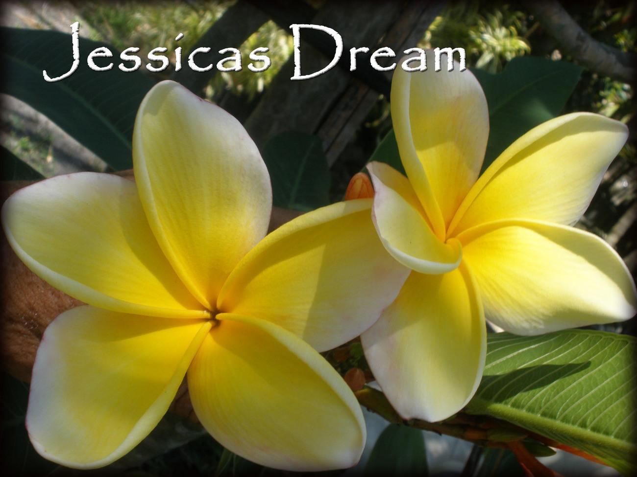 RARE & EXOTIC! Jessicas Dream Hawaiian Plumeria Cutting