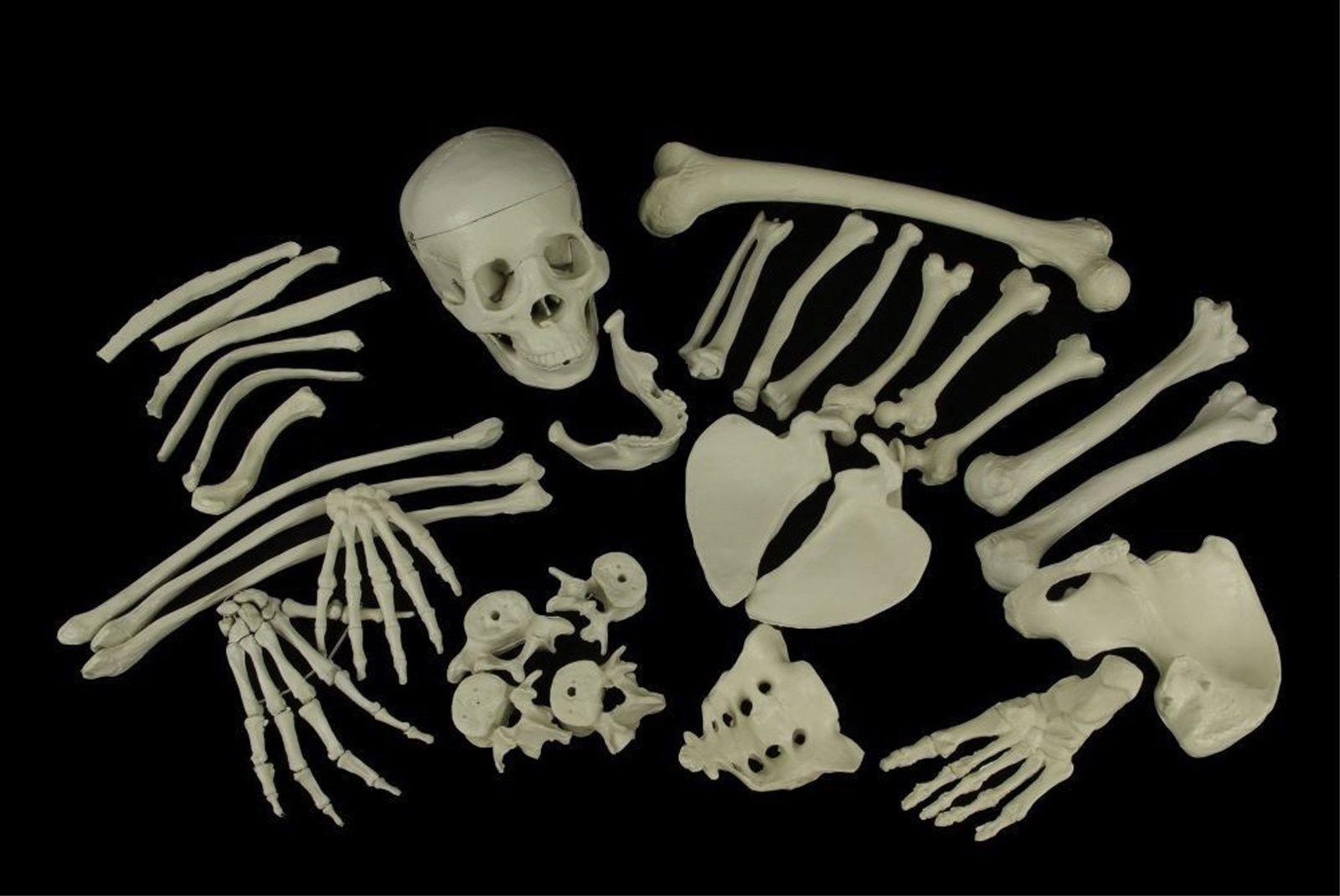 Life size bucky skeleton skull bones halloween decoration for Bag of bones halloween decoration