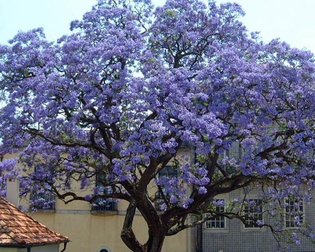 Image of 1000 Paulownia Tomentosa ( Princess Tree ) seeds