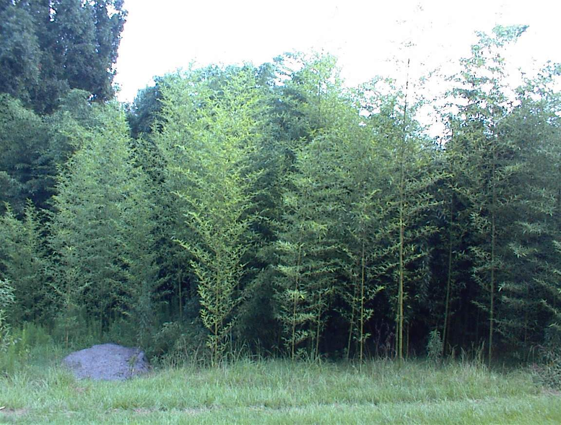 Giant timber bamboo p bambusoides 3 39 cold hardy live for Hardy tall ornamental grasses
