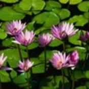 Water_lilies_thumb175