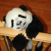 Pandas_12_thumb175