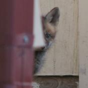 Fox_baby_thumb175