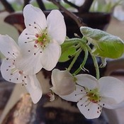 Dogwood_feb2001resized_thumb175