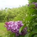Lilac4_thumb128