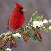 Cardinalinthesnow.1_thumb175