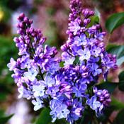 Lilacs_thumb175