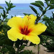 Yellow_hibiscus_thumb175