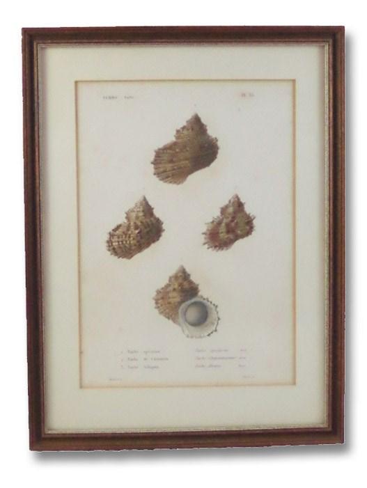 Five Color Natural History Prints Depicting Seashells from the Turbo Genus [Conchology, Sea Shells, Snails, Mollusca, Turbinidae]