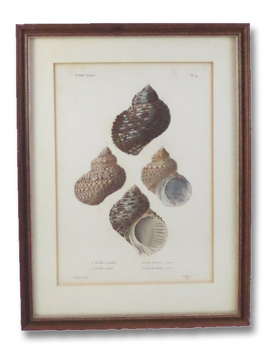 Five Color Natural History Prints Depicting Seashells from the Turbo Genus [Conchology, Sea Shells, Snails, Mollusca, Turbinidae]