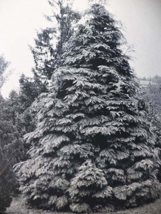Image for The Cultivated Evergreens: A Handbook of the Coniferous and Most Important Broad-Leaved Evergreens Planted for Ornament in the United State and Canada