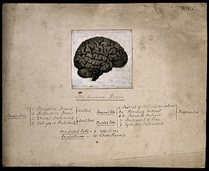 The Human Brain, Divided According to Bernard Hollander's System of Phrenology, 1902, Wellcome Collection, London [Public Domain] via Wikimedia Commons