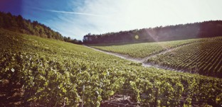 Vineyard of Chablis