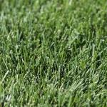 close-up of blue-green Kentucky bluegrass blades