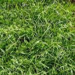 close-up of bright green tall fescue