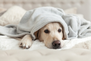 Dog being comforted by blanket