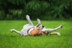 Happy Dog Rolling In The Grass
