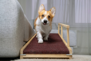 Small Dog Walking On Ramp To Couch
