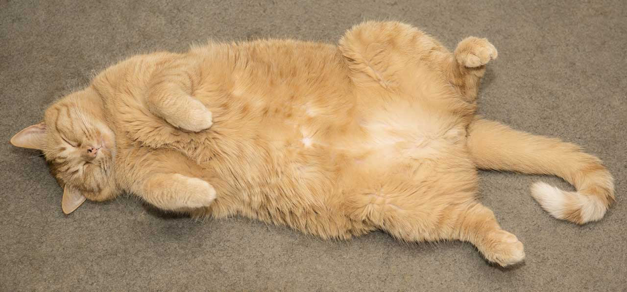 6 Reasons Your Cat is Overweight (And How to Shed Those Pounds)