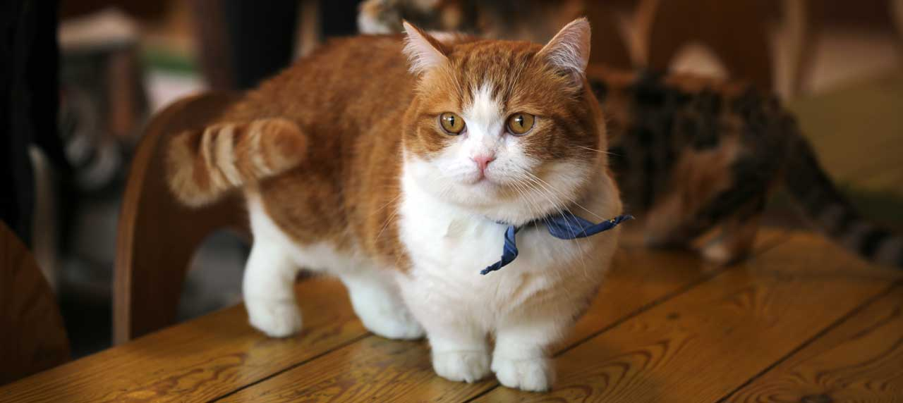 Munchkin Cats: 8 Stereotypes Debunked