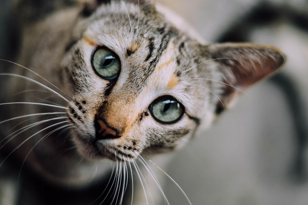 A tabby cat with green eyes in Basepaws science blog
