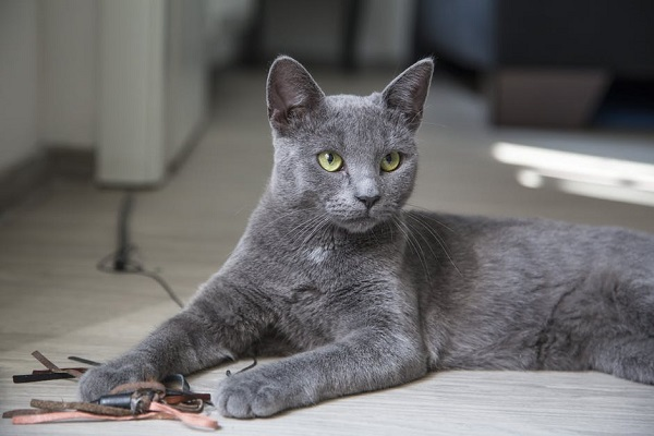 beautiful gray cat with green eyes